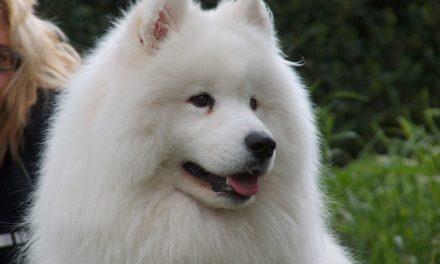 Razas de perros: Samoyedo